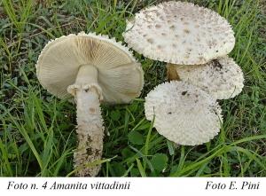 .--Andar per funghi…     Amanita vittadinii (Moretti) Vittad. 1826
